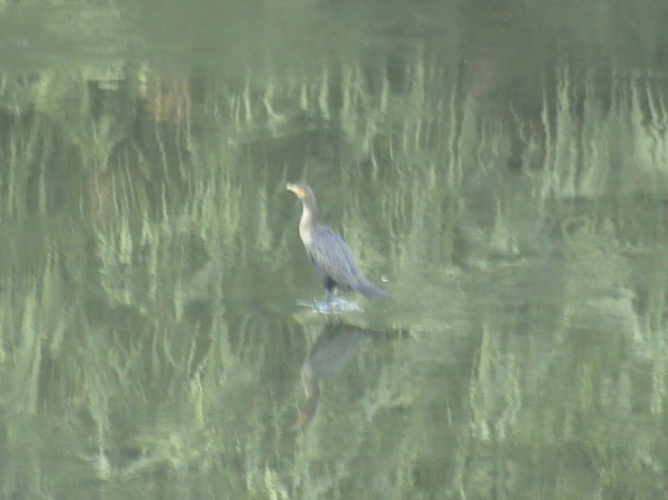 Green heron in the L.A. River